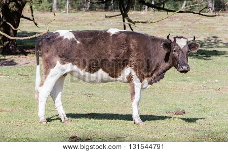 Black And White Cow Standing
