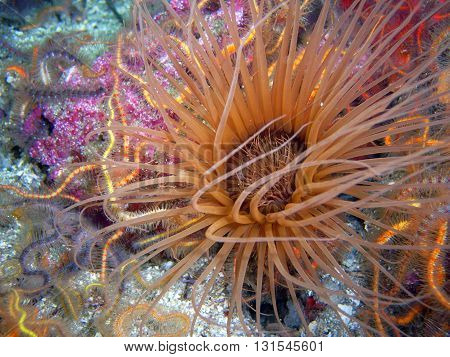 Brown Tube-dwelling Anemone surrounded by Spiny Brittle Stars found off of central California's Channel Islands.