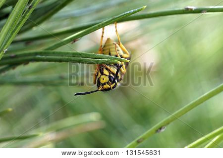 Yellow jacket wasp hanging upside down on a pine needle surrounded by pine aphids