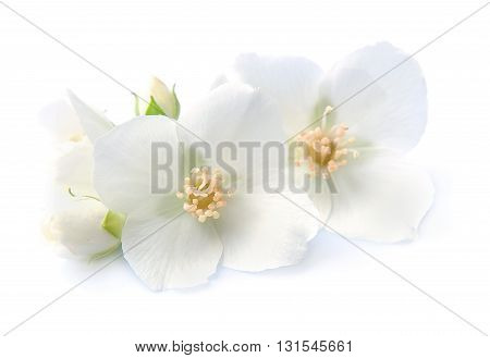 Jasmin flowers closeup on white background. White flowers
