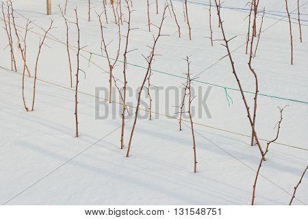 Sticks of raspberry plant on white sand in winter
