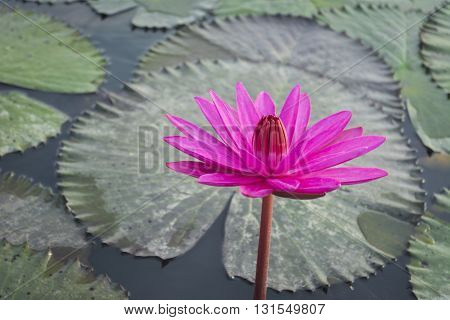 Pink Lotus Flower And Lotus Leaf Background