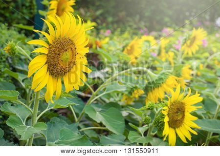 Beautiful sunflower in the garden at countryside