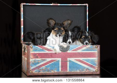 adorable papillon puppies posing together on black