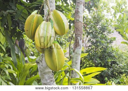 Star apple or Fresh Star apple fruit Carambola on tree in thailand fresh fram