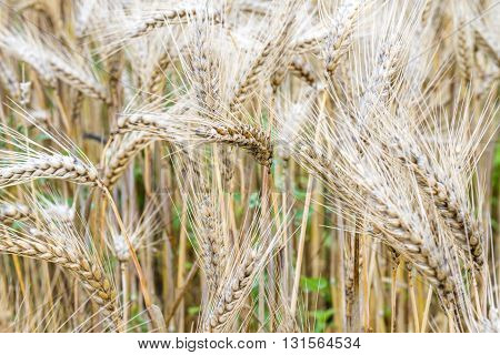 Beautiful Ripe Wheat Field of Himalayas with Green Grass.
