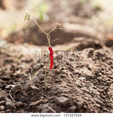 Isolated red chilly plant in Benin, Africa