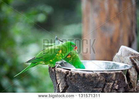 Pair of green parrots drinking water from drinkers in the Prague zoo