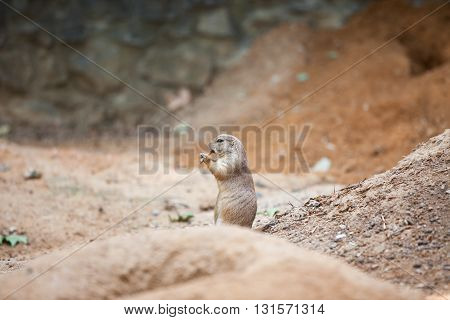 Small Groundhog is playing on flute between ground mounds