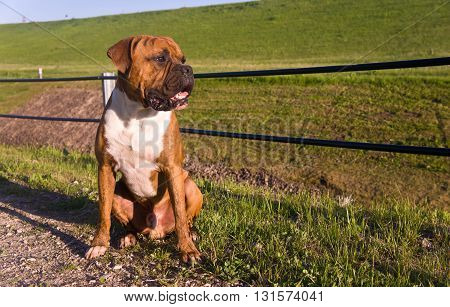 the dog breed the boxer, a sunny day, the blue sky, sits on the road from a small stone, a grass on a background