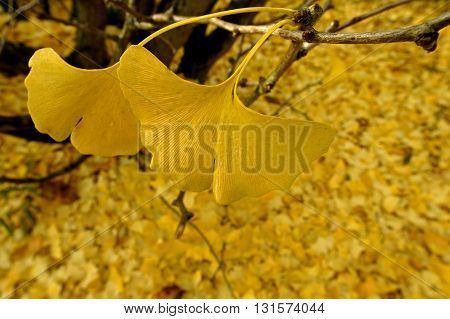 many Ginkgo biloba leafs on tree and the ground