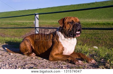 the dog breed the boxer, walks outdoors, brown, the green grass,   a green grass on a background,lies on the road from filling brick