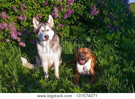 two dogs, sitting near lilac bushes, a sunny day, the blue sky