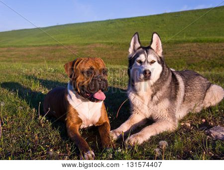 two dogs, lies on a grass,