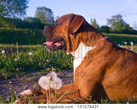 the dog breed the boxer, walks outdoors, brown, the green grass, lies on a grass, , trees on a background, a green grass on a background,