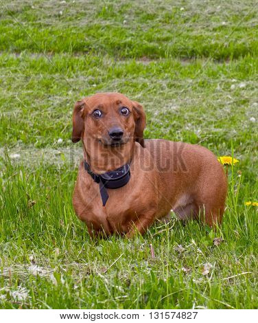 dog breed a dachshund, a brown color, standing on a grass, a grass on a background
