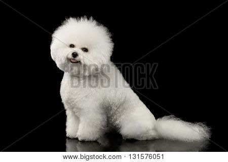Purebred White Bichon Frise Dog Smiling Sitting and Looking in Camera isolated Black Background Side view