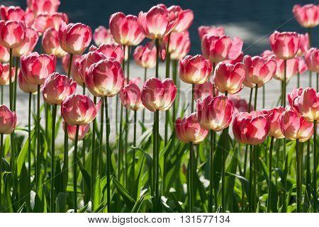 Many Bright Red Tulips Under Spring Sunlight