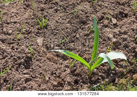 Young Green Sprout In Brown Soil Under Sunlight