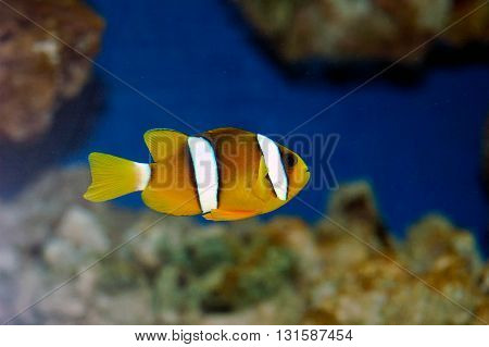 Yellowtail Clownfish (amphiprion Clarkii)