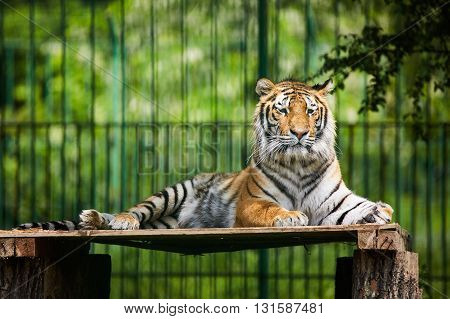Bengal Tiger Chilling Out