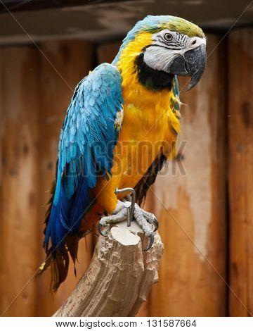 Ara Parrot Closeup