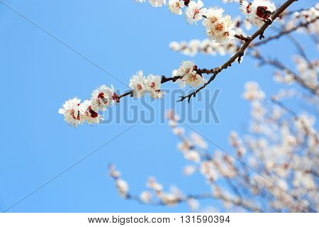 Blooming tree on blue sky background