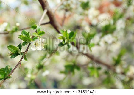Blooming tree, closeup