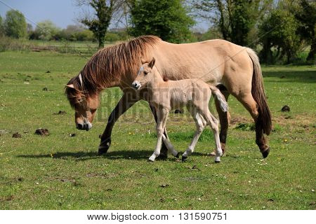 The mare and its fawn walking on the grass