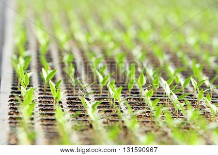 Young seedlings in a black tray