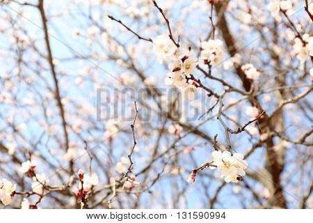 Blossoming apricot tree