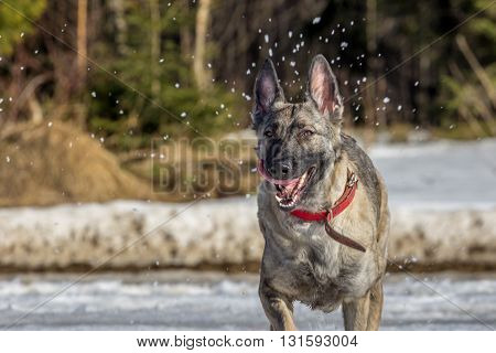 Black and brown dog running outdoor  on fresh snow