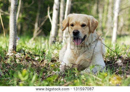 happy dog Golden Retriever lying in the shade in the summer and smiling