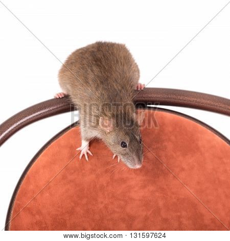 brown domestic rat sitting on a chair