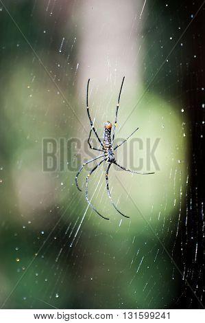 Spider on a spider web with a green background. Golden SIlk Orb Weaving Spider Orissa India