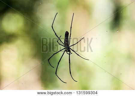 Spider on a spider web with a green background. Golden SIlk Orb Weaving Spider Orissa India