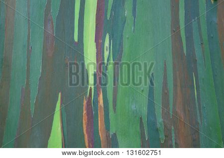Eucalyptus tree multiciolured bark close-up. Nature background.
