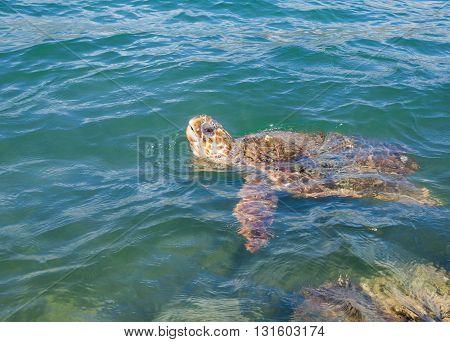 Sea turtle Caretta Caretta in water Zakynthos island Greece