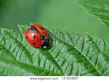 Ladybug with wings partially open, resting on a leaf