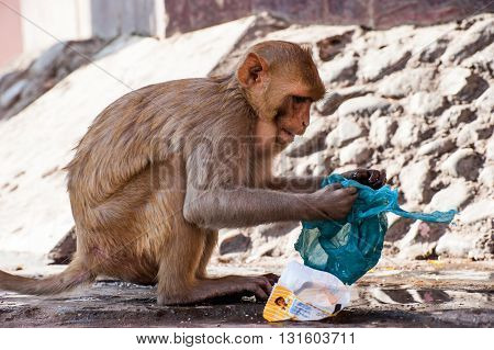 Monkey on a hindu temple Chitrakoot India