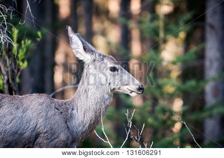 Mule deer female profile portrait near the edge of a forest in the morning