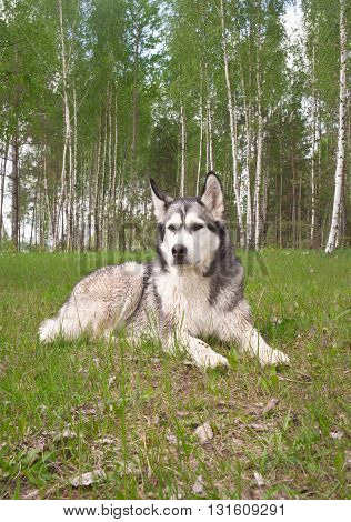 one dog, breed a malamute, lies on a green grass, trees of a birch and a grass on a background