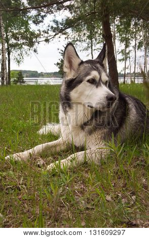 one dog, breed a malamute, lies on a green grass, trees and water on a background