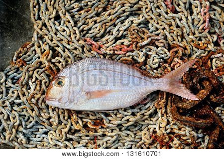 Red Porgy marine cultured fish on tackle background