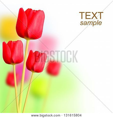 Tulips flower with background. With sample text