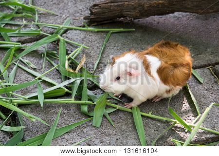 Guinea pig eating grass. guinea, pig, grass, pet, cute