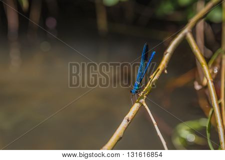 Close up of blue dragonfly on a branch.