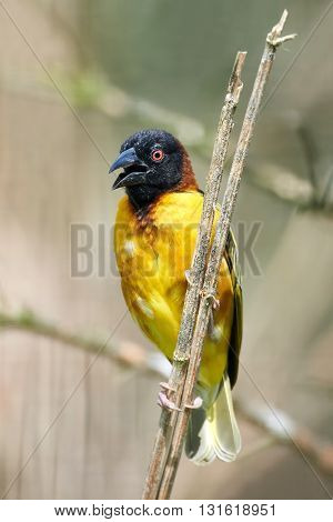 Village weaver (Ploceus cucullatus) sitting on a branch with vegetation in the background