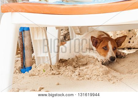 Stray dog on the beach, lying under the sun beds in the sand, hiding from the sun, heat