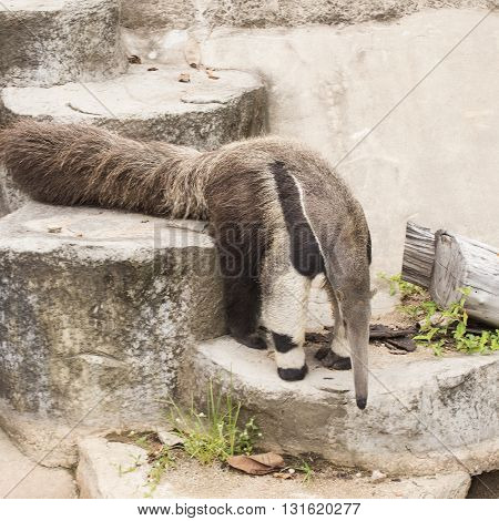 giant ant eater walking to down stair